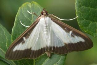 pyrale-papillon